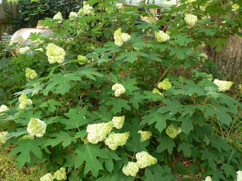 Hydrangea quercifolia harmony recreating eden for Hydrangea quercifolia