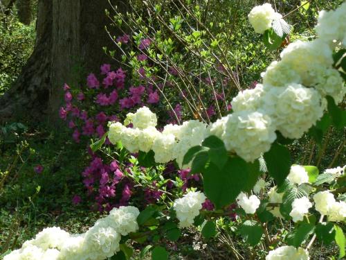 Viburnum plicatum & Azalea