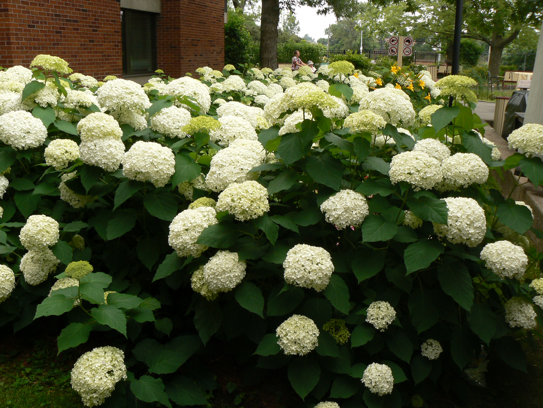 Hydrangeas recreating eden landscape blog for Annabelle hydrangea